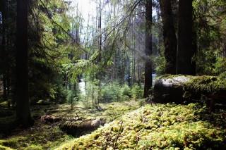 Ångande skog